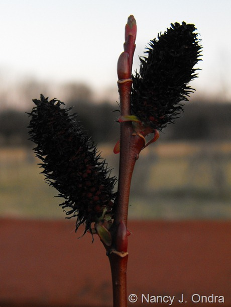 Salix gracilistyla 'Melanostachys' at Hayefield March 2012