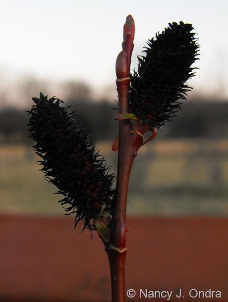 Salix gracilistyla 'Melanostachys' at Hayefield March 2012