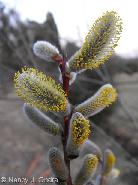 Salix udensis [S. sachalinensis] 'Sekka' at Hayefield March 2012