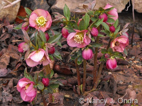 Helleborus x hybridus (pink) at Hayefield March 2012