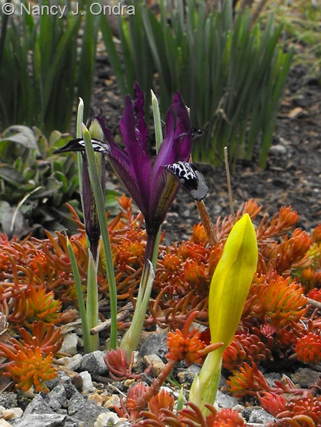 Iris reticulata with Sedum rupestre 'Angelina' at Hayefield March 2012
