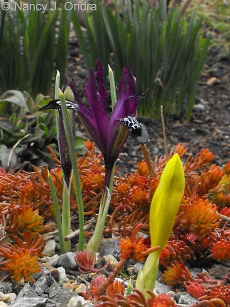 Iris reticulata with Sedum rupestre 'Angelina' at Hayefield March 2012