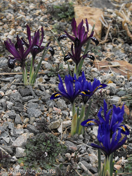 Iris reticulata at Hayefield March 2012