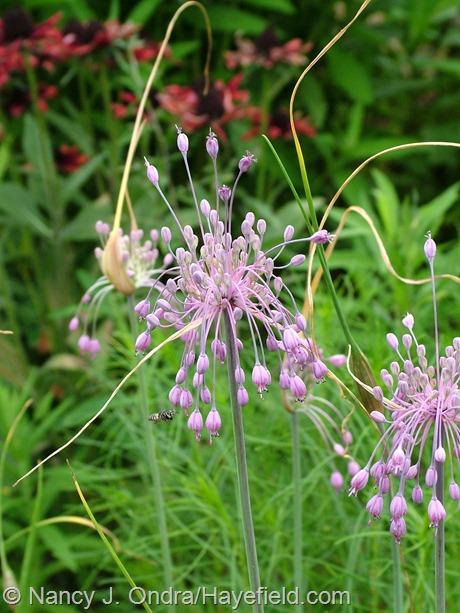 Allium carinatum subsp. pulchellum at Hayefield