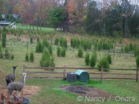 Juniperus virginiana in meadow at Hayefield Oct 2007