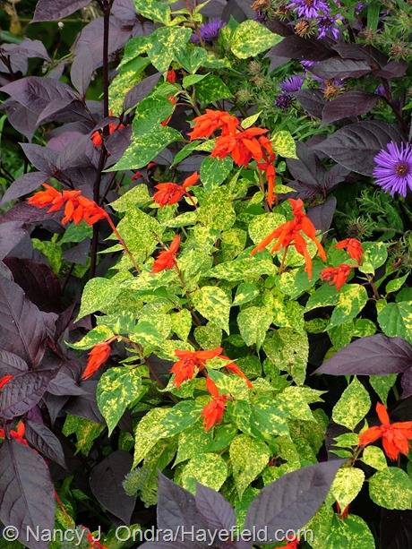 Salvia splendens 'Dancing Flames' at Hayefield