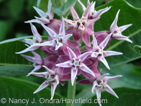 Asclepias speciosa at Hayefield