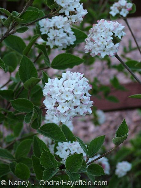 Viburnum carlesii 'Compactum' at Hayefield