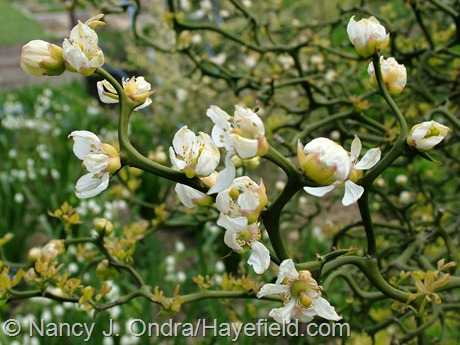 Poncirus trifoliata 'Flying Dragon' at Hayefield