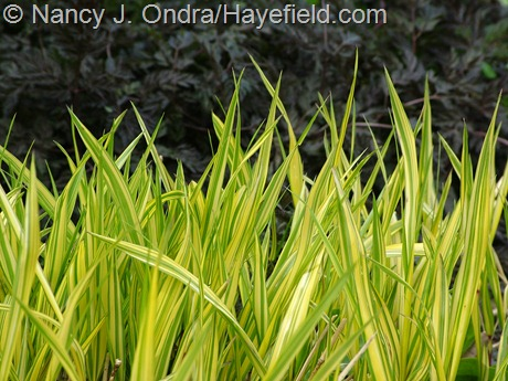 Hakonechloa macra 'Aureola' with Anthriscus sylvestris 'Ravenswing' at Hayefield