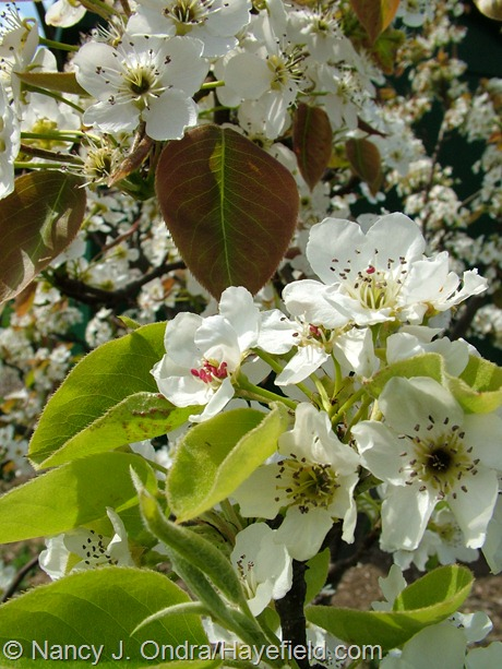 Asian pear flowers at Hayefield