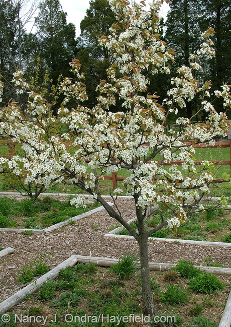 Asian pear tree in bloom at Hayefield