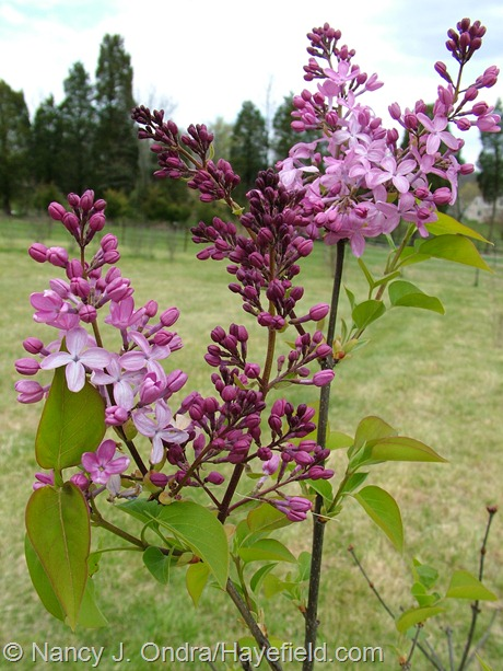 Syringa vulgaris at Hayefield