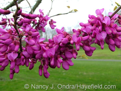 Cercis yunnanensis April 2012