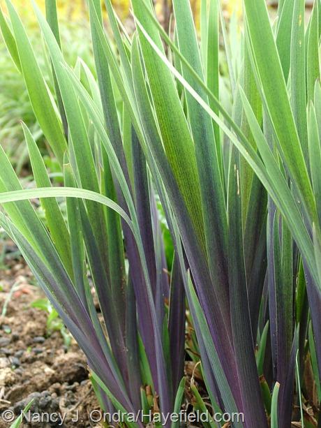 Iris x robusta 'Gerald Darby' at Hayefield