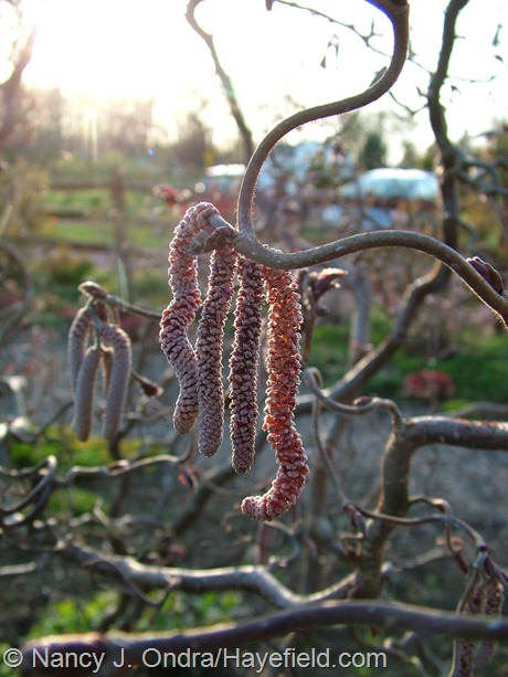 Corylus avellana 'Red Majestic' at Hayefield