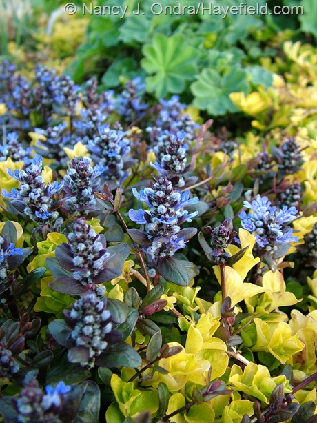 Ajuga reptans 'Valfredda' (Chocolate Chip) with Lysimachia nummularia 'Aurea' at Hayefield
