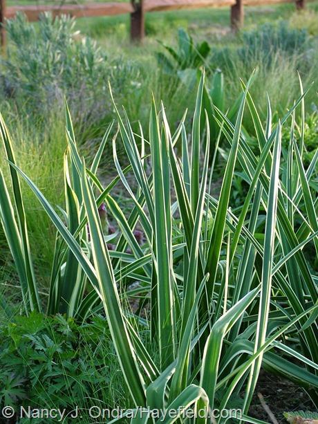 Camassia leichtlinii 'Sacajawea' foliage at Hayefield