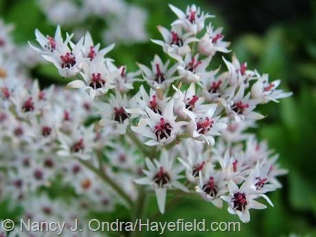 Mukdenia [Aceriphyllum] rossii at Hayefield