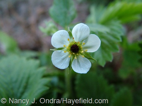 Fragaria vesca frost-damaged flower