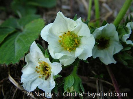 Fragaria x ananassa flowers
