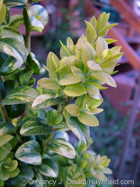 Buxus sempervirens 'Latifolia Maculata' at Hayefield