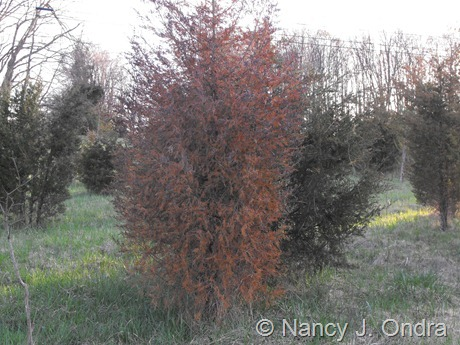 Juniperus virginiana in meadow at Hayefield April 2012