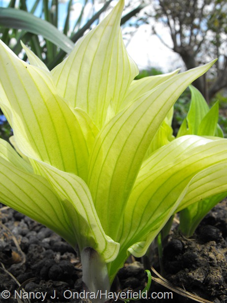 Hosta 'Mostly Ghostly' at Hayefield