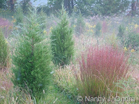 Juniperus virginiana and Schizachyrium scoparium in meadow at Hayefield Sept 21 07