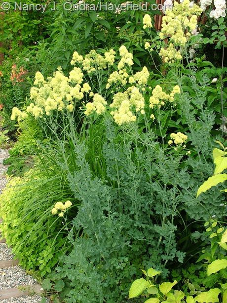Thalictrum speciosissimum at Hayefield