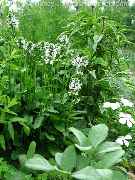 Stachys officinalis 'Alba' with Catharanthus roseus 'Cora White', Salvia officinalis 'Berggarten', and Echinacea purpurea 'Prairie Frost' at Hayefield