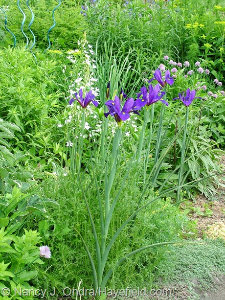 Dutch iris 'Rendez Vous' with Ornithogalum magnum at Hayefield