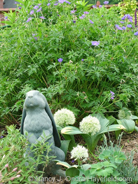 Allium karataviense 'Ivory Queen' with Geranium 'Brookside' at Hayefield