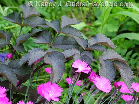 Angelica 'Ebony' with Dianthus 'Firewitch' at Hayefield