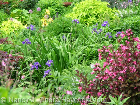 Iris x robusta 'Gerald Darby' with Weigela florida 'Alexandra' [Wine and Roses] at Hayefield