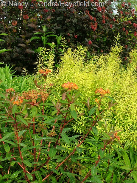 Physocarpus opulifolius 'Monlo' [Diabolo] with Spiraea thunbergii 'Ogon' [Mellow yellow] and Euphorbia griffithii 'Fireglow' at Hayefield