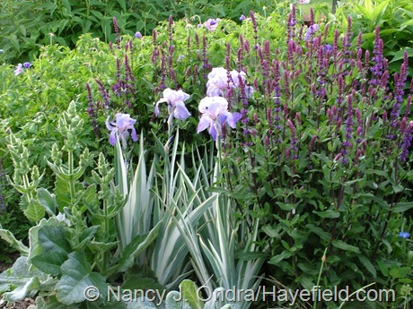 Iris pallida 'Argentea Variegata' with Salvia 'Caradonna' and Salvia argentea at Hayefield