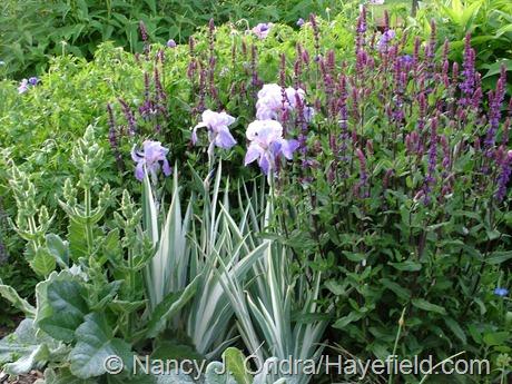 Iris pallida 'Argentea Variegata' with Salvia 'Caradonna' and Salvia argentea at Hayefield