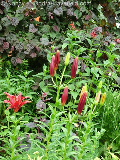 Corylus avellana 'Red Majestic' with Lilium 'Monte Negro' and Monarda 'Jacob Cline' at Hayefield