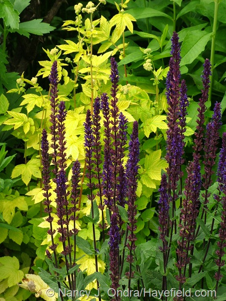 Salvia 'Caradonna' against Filipendula ulmaria 'Aurea' at Hayefield
