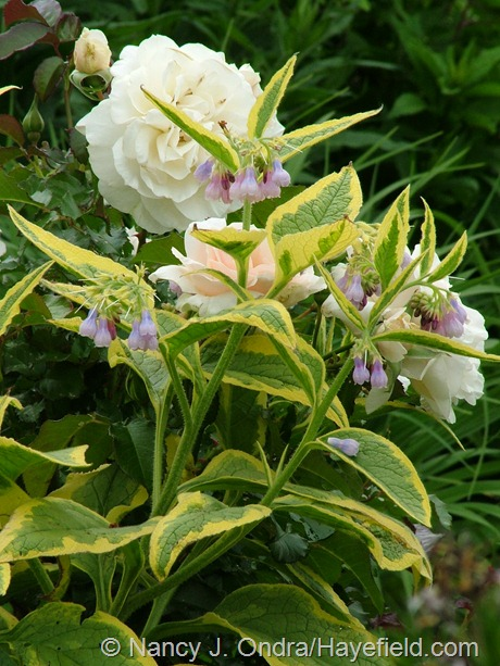 Symphytum x uplandicum 'Axminster Gold' with Rosa 'Guinevere' at Hayefield'