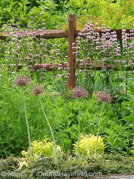 Allium atropurpureum with Phlomis tuberosa 'Amazone' at Hayefield