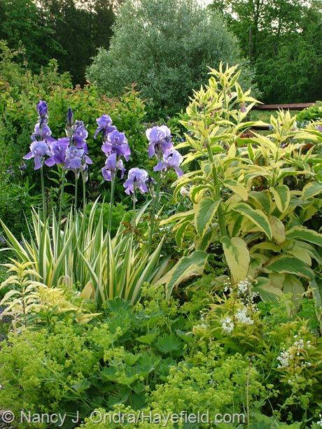Iris pallida 'Variegata' with Symphytum x uplandicum 'Axminster Gold' and Alchemilla mollis 'Auslese' at Hayefield