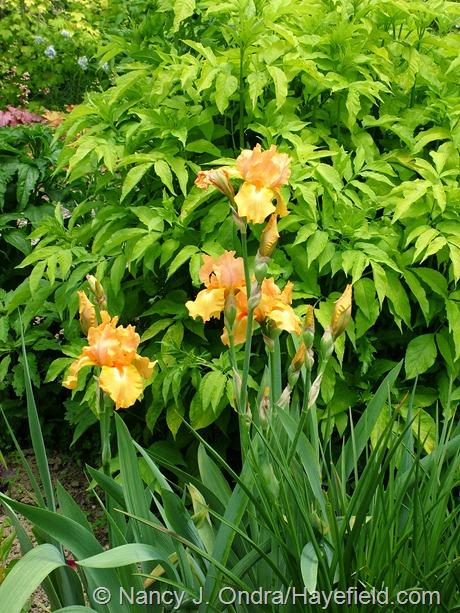 Orange bearded iris against Sambucus nigra 'Aurea' at Hayefield