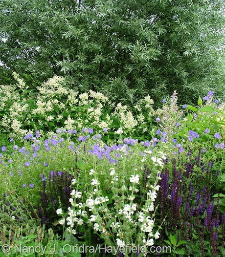 Salvia 'Caradonna' and S. argentea with Geranium 'Brookside', Persicaria polymorpha, and Salix alba var. sericea at Hayefield