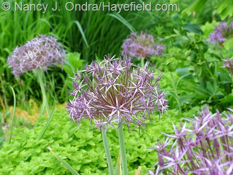 Allium christophii with Origanum vulgare 'Aureum' at Hayefield