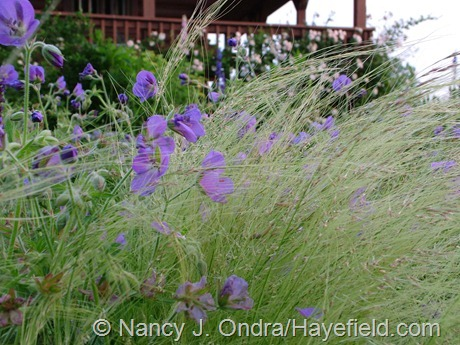 Stipa tenuissima and Geranium 'Brookside' at Hayefield
