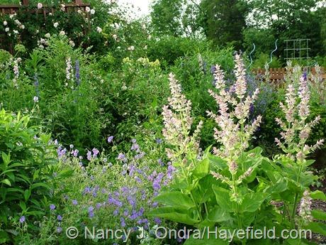 Salvia sclarea with Geranium 'Brookside' at Hayefield