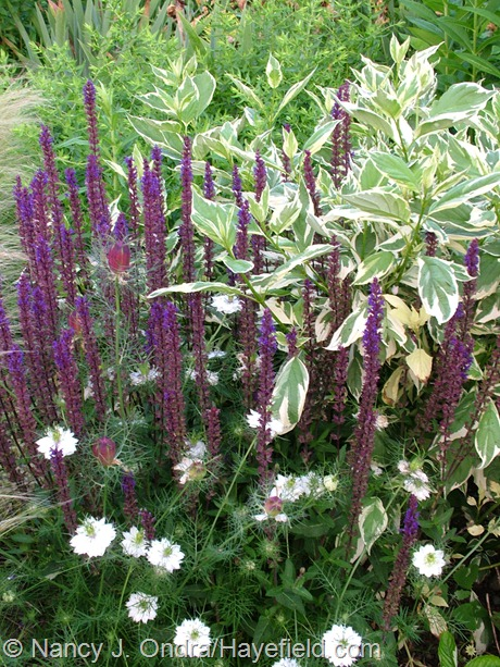 Salvia 'Caradonna' with Nigella damascena 'Cramer's Plum' and Cornus sericea 'Cardinal' sport at Hayefield