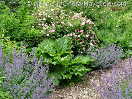 Rosa 'Radyod' [Blushing Knock Out] with rhubarb and Nepeta 'Walker's Low' at Hayefield